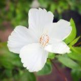 De witte Hibiscusbloem of nam het close-upmening van de malvebloem toe Royalty-vrije Stock Fotografie