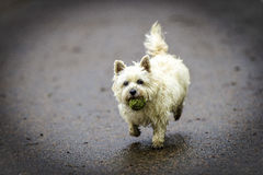 De witte Hond die van Steenhoopterrier met groene bal in haar mond lopen Stock Foto