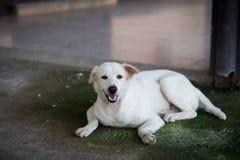 De witte hond kijkt camera Stock Fotografie