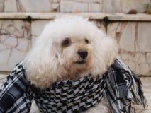 De witte hond met zachte veren zette op een sjaal op een granietvloer stock foto's
