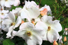 De witte hond nam bloem toe Royalty-vrije Stock Fotografie