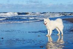 De witte hond Samoyed bevindt zich dichtbij het overzees op een Zonnige dag Stock Foto