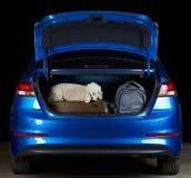 De witte hond van de poedelpassagier royalty-vrije stock foto