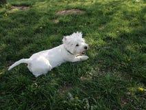 De witte hond van de huisdierenzorg Stock Afbeelding