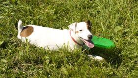 De witte hond van Labrador Stock Afbeeldingen