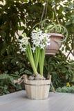 De witte hyacinten Royalty-vrije Stock Afbeeldingen