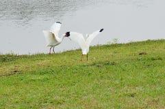 De Witte IBIS van Florida Royalty-vrije Stock Afbeeldingen