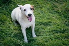 De witte jackrusell leuke hond zit in groen gras Royalty-vrije Stock Afbeeldingen