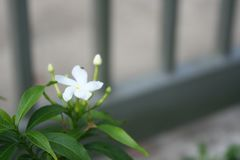De witte jasmijn, vertroebelt grijze en groene bladeren royalty-vrije stock foto