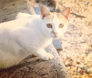 De Witte Kat royalty-vrije stock foto's