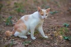 De Witte Kat Stock Afbeeldingen