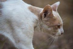 De Witte Kat Stock Foto's