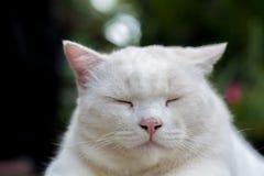 De witte kat kijkt slaperig royalty-vrije stock foto's