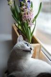 De witte kat met blauwe ogen en gevoelige de lentehyacint bloeit in een houten doos op een venstervensterbank Roze, blauwe kleur Royalty-vrije Stock Foto