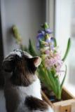 De witte kat met blauwe ogen en gevoelige de lentehyacint bloeit in een houten doos op een venstervensterbank Roze, blauwe kleur Stock Afbeeldingen