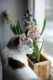 De witte kat met blauwe ogen en gevoelige de lentehyacint bloeit in een houten doos op een venstervensterbank Roze, blauwe kleur Stock Foto