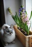 De witte kat met blauwe ogen en gevoelige de lentehyacint bloeit in een houten doos op een venstervensterbank Roze, blauwe kleur Stock Afbeelding