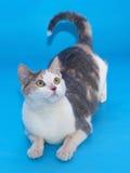 De witte kat met flarden van hief zijn staart op ligt op blauw Royalty-vrije Stock Afbeeldingen