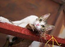 De witte kat met grijze vlekken ligt Royalty-vrije Stock Afbeelding