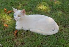 De witte kat met ogen van verschillende kleur zit op een groen gras in de middag onder de schaduw Royalty-vrije Stock Foto's
