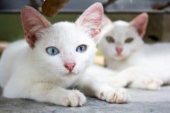 De witte kat ontspant Stock Foto's