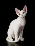 De witte kat van Devon rex Royalty-vrije Stock Foto's