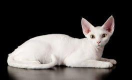 De witte kat van Devon rex Royalty-vrije Stock Afbeeldingen
