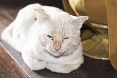 De witte katten zijn slaperig royalty-vrije stock foto's