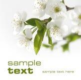 De witte kers bloeit close-up Royalty-vrije Stock Afbeeldingen