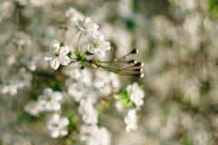 De witte kers bloeit dicht omhoog met mooie bokeh op achtergrond stock foto