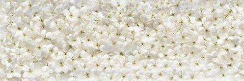 De witte kers bloeit panoramische achtergrond Stock Afbeelding