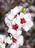 De witte Kers komt 8734 tot bloei Royalty-vrije Stock Foto's