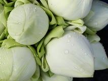 De witte knop van de lotusbloembloem Stock Foto