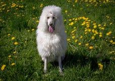 De witte Koninklijke poedelhond zit op het groene gras Stock Afbeelding