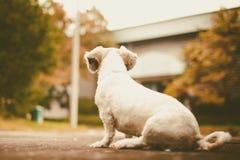 De witte korte zitting van de tzuhond van haarshih alleen op de weg en vooruit het kijken Stock Foto