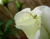 De witte Krabspin Jacht op een Wit nam toe royalty-vrije stock fotografie