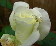 De witte Krabspin Jacht op een Wit nam toe stock foto's
