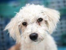 De witte krullende hond van de haarpapaver stock afbeeldingen