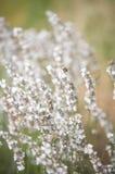De witte lavendel bloeit dicht omhoog gezien Stock Afbeeldingen