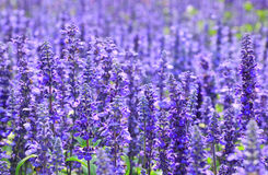 De witte lavendel bloeit dicht omhoog gezien Stock Foto's