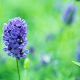 De witte lavendel bloeit dicht omhoog gezien Royalty-vrije Stock Afbeelding