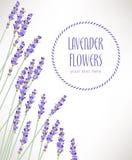 De witte lavendel bloeit dicht omhoog gezien Royalty-vrije Stock Foto