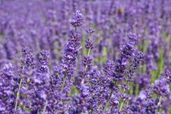 De witte lavendel bloeit dicht omhoog gezien Stock Fotografie
