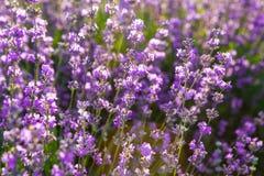 De witte lavendel bloeit dicht omhoog gezien Royalty-vrije Stock Afbeeldingen