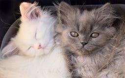 De witte leuke aanbiddelijke macro van katjeskatten Royalty-vrije Stock Foto