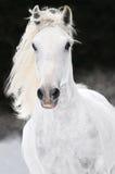 De witte Lipizzan galop van de paardlooppas in de winter Stock Fotografie