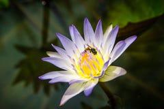 De witte lotusbloem stock afbeeldingen