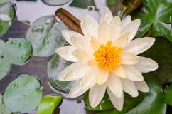 De witte lotusbloem is bloeiend Royalty-vrije Stock Foto