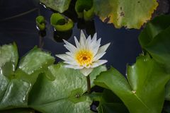 De witte lotusbloem is bloeiend met zacht zonlicht Royalty-vrije Stock Fotografie
