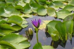 De witte lotusbloem is bloeiend met zacht zonlicht Stock Foto